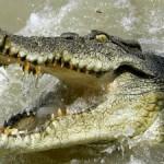 Giải mã giấc mơ thấy cá sấu & nằm ngủ mơ thấy bị cá sấu tấn công